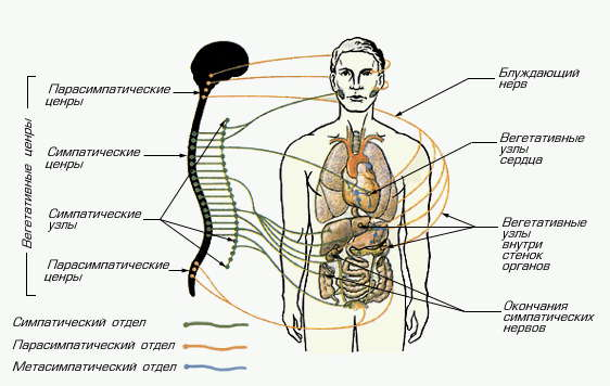 Заболевания вегетати́вной не́рвной систе́ма (ВНС)
